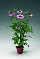 Echinacea purpurea, Эхинацея пурпурная - Prairie Spendor™, Сингента - 1000, 500, 250, 100 семян