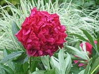 Пионы в саду: агротехника и советы