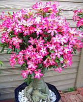 Семена адениума с розовыми цветами