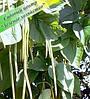 Саженцы катальпы 2,5 - 4 м