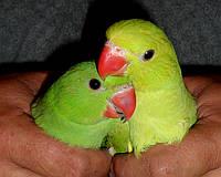 Малыши Ожерелового попугая (Индийский кольчатый попугай), фото 1