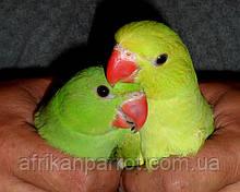 Малыши Ожерелового попугая (Индийский кольчатый попугай)