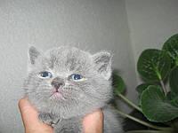 Шотландские котята страйты