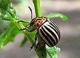 Актофит - от колорадского жука (200мл), фото 3