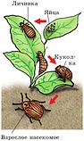 Актофит - от колорадского жука (200мл), фото 2