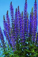 Salvia x superba, Сальвия превосходная - Merleau™, Сингента - 1000, 500, 250, 100 семян