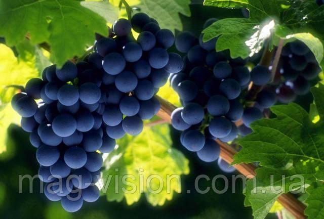 Виноград является природным источником уникального фитонутриента ресвератрола, который по силе влияния на сердечно-сосудистую и нервную системы не уступает даже гинкго билобе – сильнейшему антиоксиданту