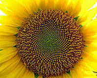 Гібрид соняшнику Мас 92 СР