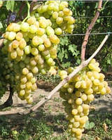 Виноград Валентина, саженцы винограда белого столового