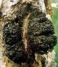 Чага березовый гриб 50г