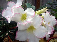 Адениум семена с ароматными цветками