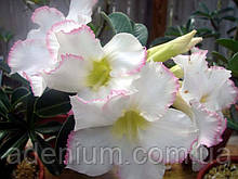 Адениум семена с ароматными цветками, 1шт
