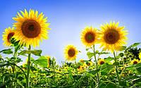 Вартість соняшника на внутрішньому ринку продовжує збільшуватися