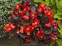 Begonia semperflorens, бегония вечноцветущая - Eureka F1, Сингента - 1000, 500, 250, 100 семян