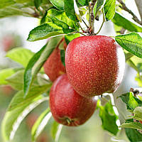 Яблоки Бребурн цена