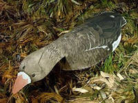 Разборные чучeла флюгера кормящегося белолобого гуся. Hunting  ARTechnology