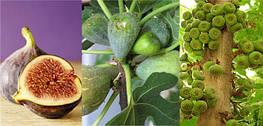 Нетрадиционные плодовые культуры