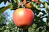Продам яблоко Джонаголд Декоста