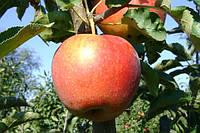 Продам яблоко Джонаголд Декоста, фото 1