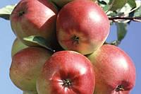 Купить яблоки Лигол, фото 1