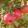 Сорт яблок Пинк Леди