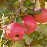 Сорт яблок Пинк Леди, фото 1