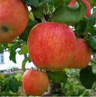 Купить яблоки Пинова, фото 1