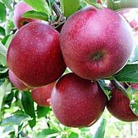 Купить яблоки Ред Джонапринц цена, фото 1