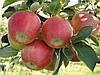 Продам яблоко Рубин Стар