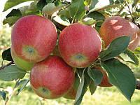 Продам яблоко Рубин Стар, фото 1