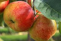 Яблоко Рубинола продам, фото 1