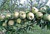 Купить яблоки Симиренко