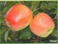 Яблоко Целесте купить, фото 1