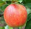 Купить яблоки Чемпион