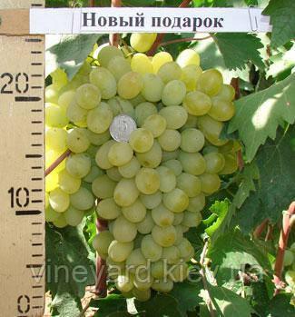 Виноград Новый Подарок Запорожью, саженцы из питомника