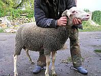 Молодые племенные бараны  французской молочной породы ЛАКАУН (ЛАКАЮНЕ).