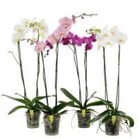 Орхидея Фалеонопсиc метровая Королевская