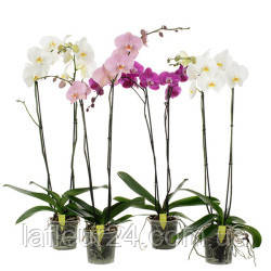 svadebniy-buket-iz-zelenih-orhidey-kiev-tsena