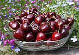 Вишня фруктовий наповнювач пастеризований, фото 2