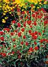 Семена Гомфрена Земляничная поляна сухоцвет 0,1 г