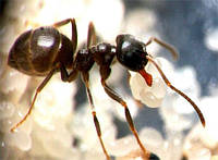 Колония муравьев Lasius niger для Муравьиной Фермы