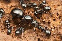 Колония муравьев Formica fusca Linnaeus для Муравьиной Фермы