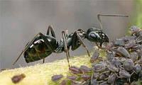 Матка муравьиная Formica fusca Linnaeus для Муравьиной Фермы