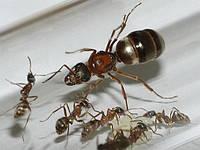 Колония муравьев Руфибарбис + корм Гаммарус в подарок