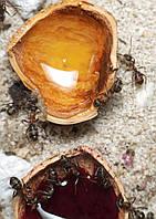 Колония муравьев Rufibarbis для Муравьиной Фермы