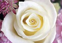 Фотообои Белая чудо роза