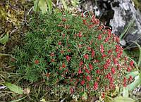 Красная щетка корень, родиола четырехчленная 50 г