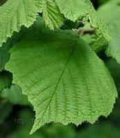 Лещина лист 50 гр