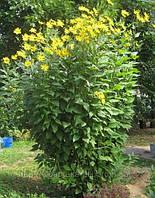 Топинамбур земляная груша клубни  100 гр