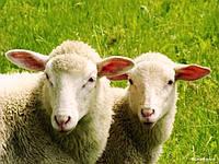 Для коз и овец